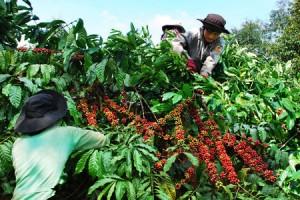 Giá nông sản hôm nay 12/4: Giá cà phê và hồ tiêu đồng loạt giảm