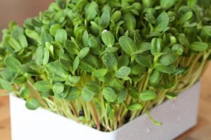 Học nhanh cách trồng rau mầm hướng dương, 2 tuần là có rau ăn