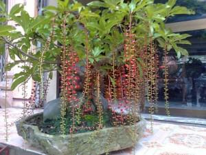 Phong thủy về loài cây đẹp vừa ngắm, vừa ăn, vừa nhiều may mắn, tài lộc