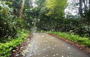 Rợp trời mùa bướm trắng ở vườn quốc gia Cúc Phương