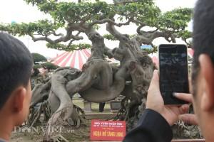 """Xuất hiện quái cây """"Ngọa hổ tàng long"""" của triệu phú đô la Phú Thọ"""