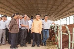 Đàn bò nghìn tỷ của Bầu Đức chỉ để lấy phân bón