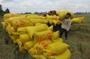 """Giá lúa khô tăng cao nhất lịch sử, thị trường """"nóng hừng hực"""""""