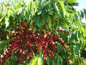 Giá nông sản hôm nay (21/5): Giá cà phê biến động 100 đồng/kg, giá tiêu đi ngang