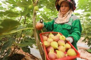 Tò mò những trái sung Mỹ cực đắt đỏ, giá hơn nửa triệu/kg