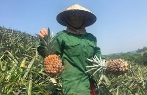 Dứa Việt 2.000 đồng/kg thối đầy đồng, nhà giàu ăn dứa ngoại 300 ngàn/quả