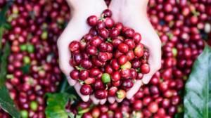 Giá nông sản hôm nay 13/6: Giá cà phê giảm 100-200 đ/kg, giá tiêu đi ngang