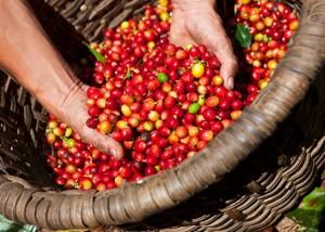 Giá nông sản hôm nay 14/6: Giá cà phê giảm mạnh, giá tiêu đi ngang