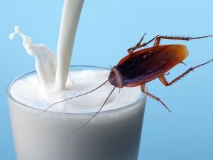 Đặc sản sữa gián ngon và bổ gấp 3 lần sữa bò, nhưng vắt sữa gián kiểu gì?