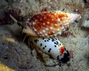 Cô giáo trẻ chết sau khi ăn ốc lạ: Nhận diện những loài ốc có độc tố chết người ở biển Việt Nam