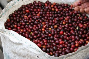 """Giá nông sản hôm nay 12/7: Giá cà phê đột ngột giảm """"sốc"""", giá tiêu không đổi"""