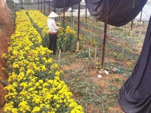 Hoa cúc Đà Lạt tăng giá chóng mặt trước rằm tháng 7
