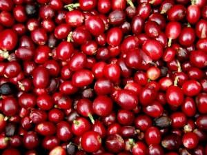 Giá nông sản hôm nay 11/9: Giá cà phê tiếp tục lao xuống đáy mới, giá tiêu đứng yên