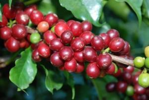 Giá nông sản hôm nay 13/9: Giá cà phê bất ngờ tăng mạnh, giá tiêu biến động nhẹ