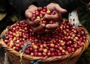 Giá nông sản hôm nay 14/9: Giá tiêu tăng 1000 đồng, giá cà phê đảo chiều giảm nhẹ