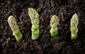 Tự trồng măng tây trong chậu tại nhà dễ như bỡn, ai cũng làm được
