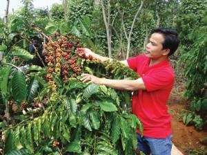 Giá nông sản hôm nay 16/10: Cà phê tăng lên 37.300 đồng/kg, tiêu tiếp tục đi ngang