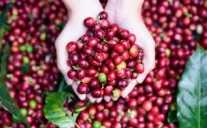 Giá nông sản hôm nay 23/10: Giá cà phê giảm 300-500 đ/kg, giá tiêu tăng nhẹ