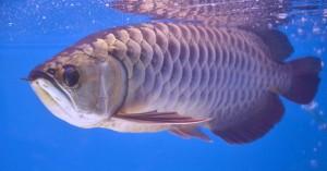 Kỳ lạ cá rồng 'báo trước hiểm họa', giới siêu giàu chi tiền tỷ săn lùng