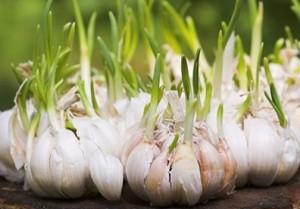 Cách trồng 6 loại cây gia vị không thể thiếu trong bữa cơm gia đình Việt
