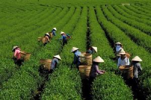 Giá chè giảm mạnh, nông dân Lâm Đồng thu không đủ chi