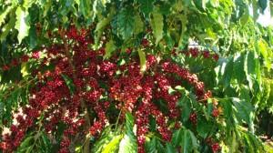 Giá nông sản hôm nay 17/11: Giá cà phê giảm mạnh, giá tiêu ổn định