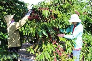 Giá nông sản hôm nay 21/11: Giá cà phê giảm tiếp 300 đồng, giá tiêu cao nhất ở mức 58.000 đồng