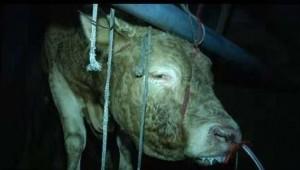 Kinh hãi bò bị bơm nước vào mũi suốt 12 tiếng để tăng trọng lượng