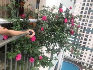 """Mẹ Hà Nội tiết lộ """"thần công"""" chăm cây lớn nhanh như thổi nhờ 1 thanh đậu phụ"""