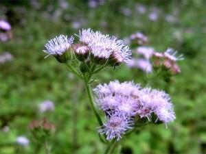 """6 loại hoa """"cực đẹp"""" khiến ruồi muỗi """"đột tử"""", không dám vào nhà"""
