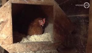 Sáng dậy, vào chuồng thấy quả trứng gà kỳ lạ y hệt... cục phân
