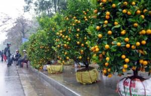 Cách chọn cây quất cảnh dịp Tết giúp gia chủ rước tài lộc vào nhà