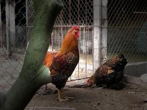 Đại gia Đài Loan sang Việt Nam: Bỏ 70 triệu mua 6 con gà khổng lồ ăn Tết