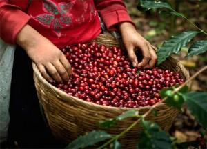 Giá nông sản hôm nay 12/1: Giá cà phê tăng 100 đ/kg, giá tiêu đi ngang