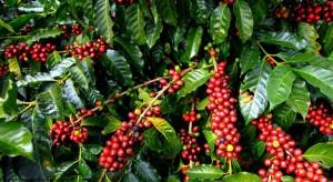 Giá nông sản hôm nay 14/1: Giá cà phê và giá tiêu đều giảm