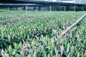 Hoa ly nở sớm trước Tết nguyên đán, có xu hướng giá cao, khát hàng