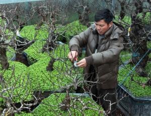 Chơi trội, nông dân Thủ đô chi trăm triệu lắp điều hòa cho đào ngày cận Tết