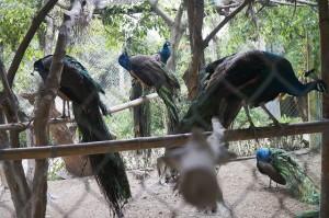 Mua chim công đột biến giá hàng chục triệu đồng chơi Tết