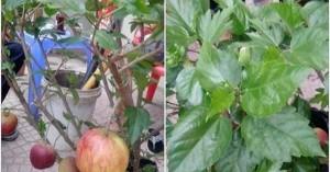 """""""Siêu phẩm lừa"""" của năm: Mua cây táo lùn về chưng Tết lại nở ra hoa dâm bụt"""
