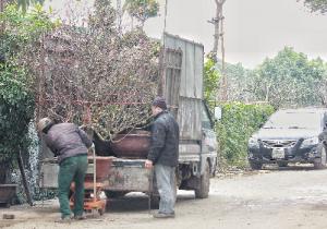 """Thu nhập """"khủng"""" từ dịch vụ vận chuyển cây cảnh ngày Tết"""