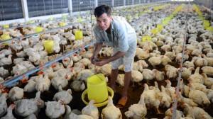 """Thực hư giá gà tăng cao bất ngờ nhờ Campuchia """"ăn hàng"""" mạnh?"""