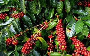 Giá nông sản hôm nay 15/2: Giá cà phê tăng nhẹ, giá tiêu đi ngang