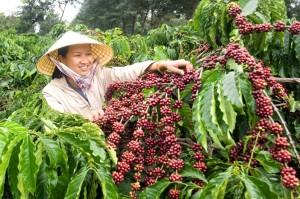 Giá nông sản hôm nay 22/2: Giá cà phê và giá tiêu đều giảm