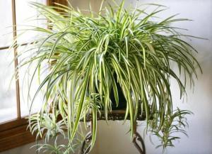 Những loài cây giúp làm sạch không khí, lọc bụi cực tốt, lại mang ý nghĩa may mắn trong năm mới