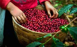 Giá nông sản hôm nay 21/3: Giá cà phê giảm 300-600 đ/kg, giá tiêu ổn định