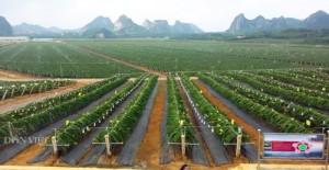 Trung Quốc trồng ồ ạt thanh long, Việt Nam tìm gấp thị trường mới