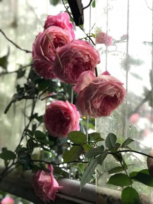 Chế nước thần tưới cây, cả vườn hồng đang hấp hối bỗng bừng tỉnh sau 1 đêm