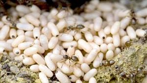 Đặc sản trứng kiến gai đen đắt đỏ: Có tiền chưa chắc đã mua được