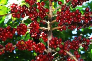 Giá nông sản hôm nay 13/5: Giá cà phê tăng nhẹ, giá tiêu đi ngang
