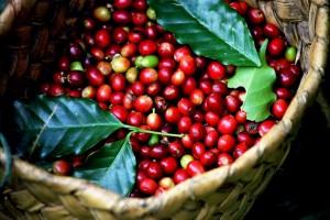 Giá nông sản hôm nay 14/5: Giá cà phê và giá tiêu đều giảm